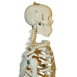 Szkielet człowieka 170 cm