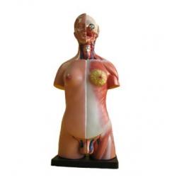 Tułów człowieka unisex 45 cm-23 części