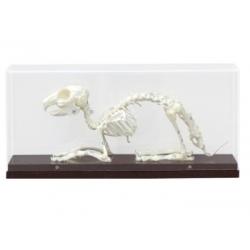 Szkielet królika