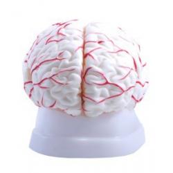 Mózg z naczyniami 8 -częściowy