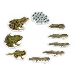 Magnetyczny cykl rozowoju żaby