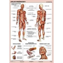 Układ mięśniowy   plansza