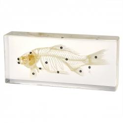 Szkielet ryby   w akrylu