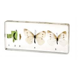 Cykl życiowy  motyla...