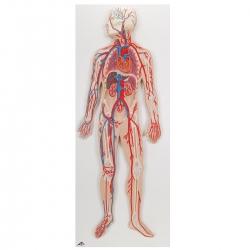 Układ krwionośny  Model...
